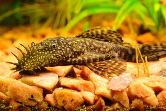 Fish Ancistrus Ancistrus dolichopterus in a home freshwater aquarium