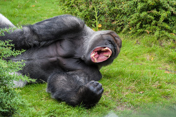 Male silverback gorilla is showing his teeth in his big wide open mouth