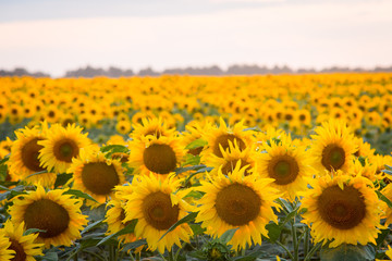 Close up picture of sunflowers in the big field. Ripe fresh sunflowers in rows in summer