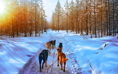 Husky family dog sled in winter Rovaniemi of Finland of Lapland. Dogsled ride in Norway. Animal Sledding on Finnish farm after Christmas. Fun on sleigh. Safari on sledge and Alaska landscape.