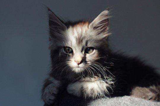Silver tabby main coon kitten