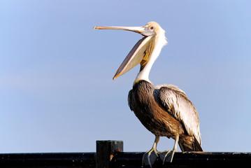 Pelican with beak open wide. Fotomurales