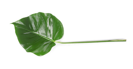 Wall Mural - Tropical leaf on white background