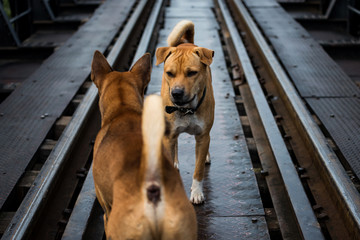 Agressive dogs stare and fight on railway