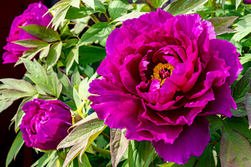 The beautiful flowers of a tree peony