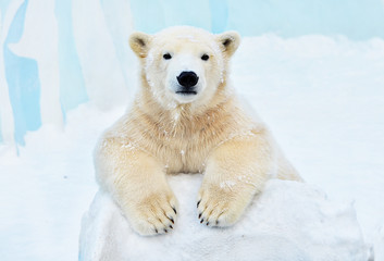 Poster Ijsbeer polar bear in the snow