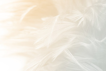 Wall Mural - Beautiful white feather pattern texture background with Orange light
