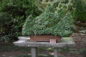 bonsai tree in the pot in the garden of public park in Jeju Island, South Korea