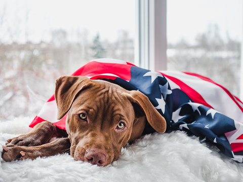 Pretty, charming puppy of chocolate color and American Flag. Close-up, isolated background. Studio photo, white color. Concept of care, education, obedience training and raising pets