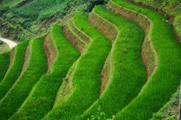 Papiers peints Les champs de riz Terraced rice field in Northwest Vietnam