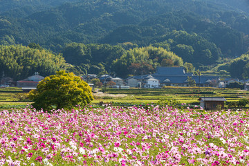 Fond de hotte en verre imprimé Univers コスモス畑と里山風景