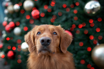 funny toller retriever dog portrait in front of a christmas tree outdoors