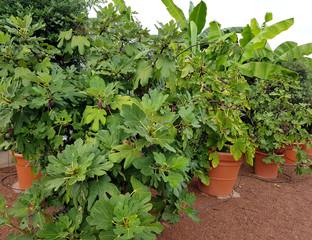 Feigen, Ficus carica, Feigenbaum