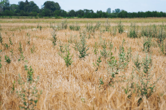 Organic cereal field full with weeds