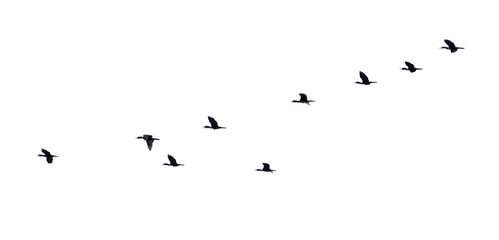 Flock of birds flying in a row, High view silhouette group of bird fly in a line beautiful nature of wildlife isolated on white background Fotomurales