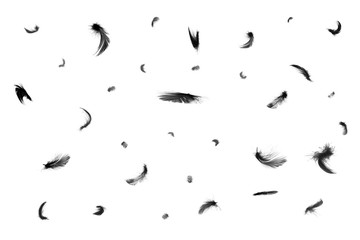 Wall Mural - Beautiful black swan feathers floating in air isolated on white background