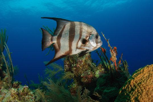 Striped Atlantic Spadefish underwater on colorful reef