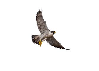 flying of peregrine falcon on white background Fotoväggar