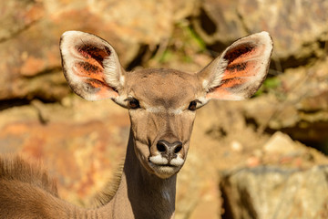 portrait of antelope kudu female front sun