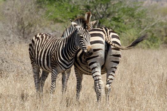 Zèbre de Burchell, Equus quagga, Parc national Kruger, Afrique du Sud