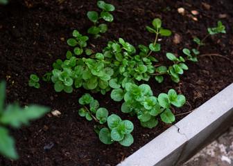 Mint with orange flavour in my little garden