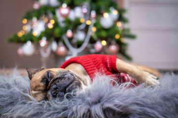 Cute tired French Bulldog dog wearing a red knitted Christmas sweater sleeping on cozy fur blanket in front of pink decorated Christmas tree in background