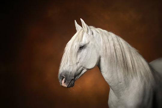Portrait Cheval étalon lusitanien blanc spectaculaire
