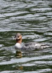 common Merganser swimming in the water