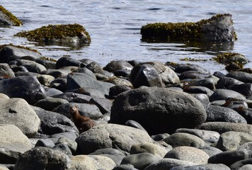 small mink in between the rocks on the edge of the water, looking towards the camera