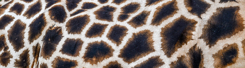 Real giraffe skin or background texture fur. Animal pattern detail wide banner.