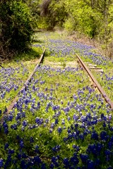 Fototapete - Bluebonnets amongst abandoned railroad tracks