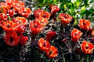 Fototapete - Claret cup cactus in bloom