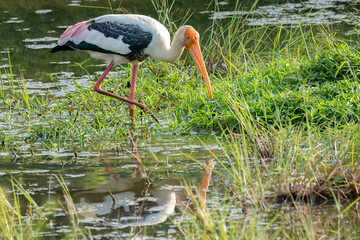 Painted Stork (Mycteria leucocephala), Udawalawe National Park, Sri Lanka