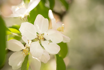 Apple tree blossom in spring in front of blurred background