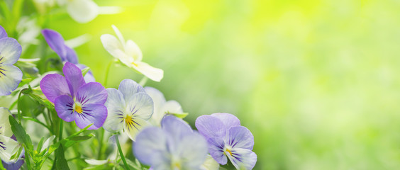colorful pansy flowers on green background in a garden
