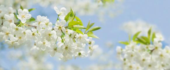 Foto auf Gartenposter Kirschblüte Spring blossom background. Blooming cherry tree White flowers on a tree