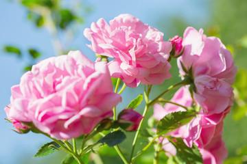 rose flowers in a garden
