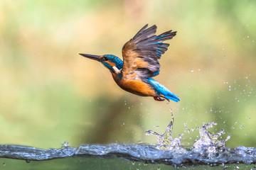 Fototapeta Common European Kingfisher emerging abstract obraz