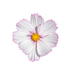 Printed roller blinds Universe Cosmos flower blossom white isolated on white background. Fresh natural blooming cosmos flower top view isolate