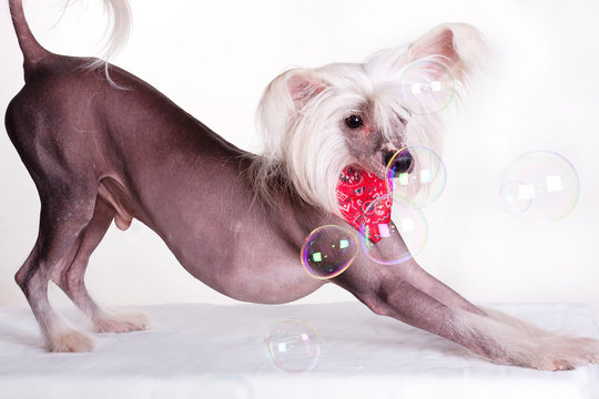 Hairless Chinese Crested Dog and Soap Bubbles