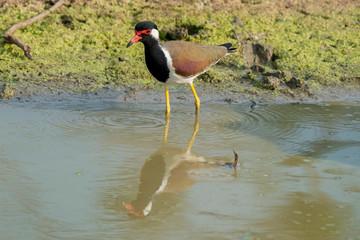 Red-wattled Lapwing (Vanellus indicus), Udawalawe National Park, Sri Lanka