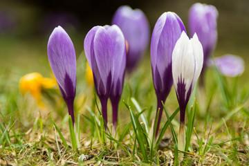 Poster Crocuses Krokus Blüte violett