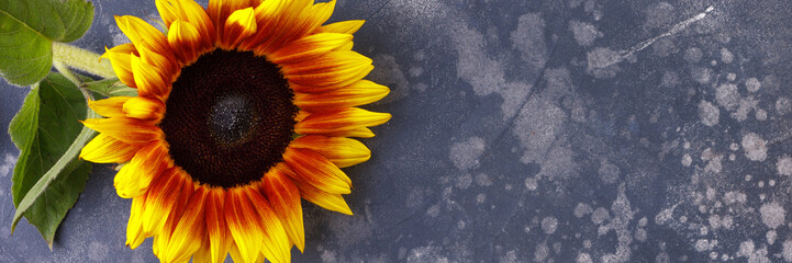 Beautiful, yellow sunflower on a black background, top view, close-up. An interesting, unusual and creative look. Flat lay. Banner.