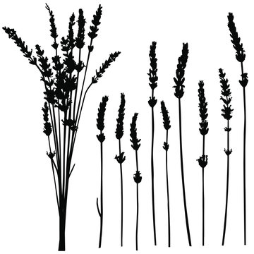 Vector silhouettes of lavender flowers and stems.