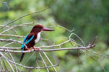 Stork-billed kingfisher (Pelargopsis capensis), Udawalawe National Park, Sri Lanka