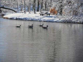 Ducks swimming in the cold water near a snow-covered park