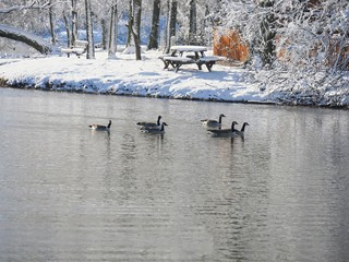 Medium wide shot of ducks swimming in the cold water near a snow-covered park