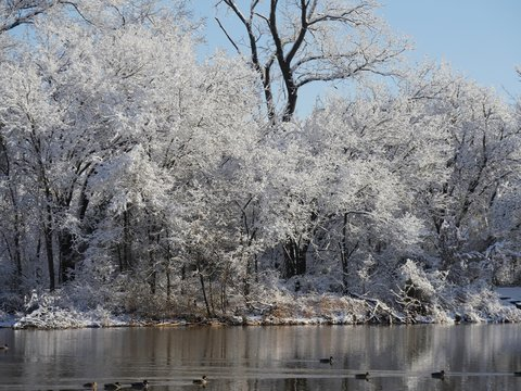 Closer view of ice and snow-covered trees covered by the pond, with ducks swimming in the water