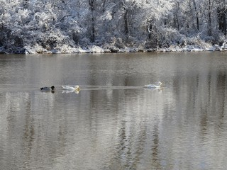 Three ducks swimming in the cold water of the pond on a winter morning