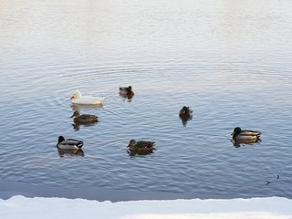 Ducks standing and swimming on the side of a pond on a snowy day